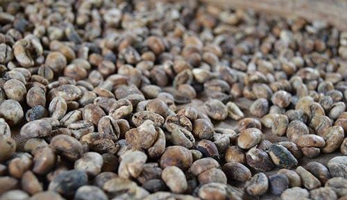 Bali koffie luwak