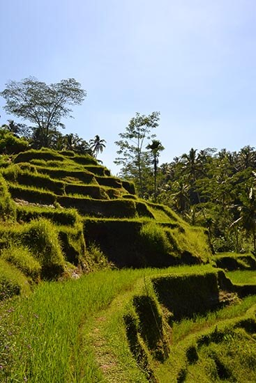 Bali rijstveld