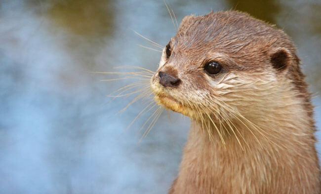 Otter bij taman indonesia